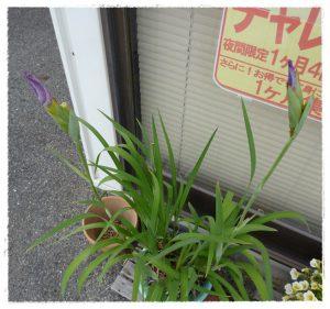 菖蒲の写真